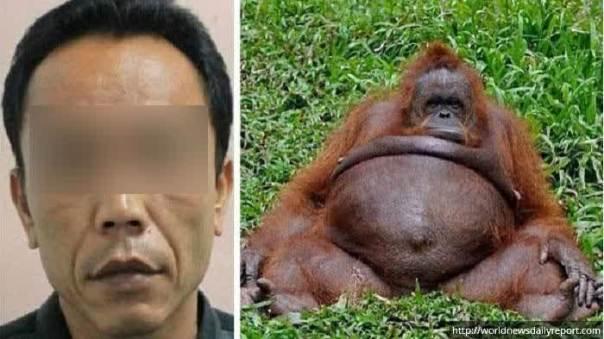 kebun-binatang-surabaya-hamili-orangutan